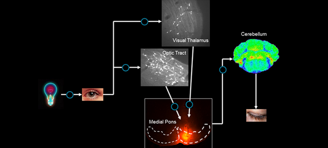 Neural Circuitry for Motor Learning