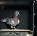 Pigeons can discriminate