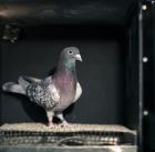 Pigeons can discriminate